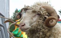 Buy A Sacrificial Animal, Feed The Hungry!